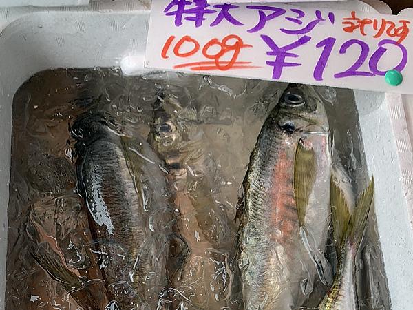 佐島漁港で捕れた特大アジのお土産