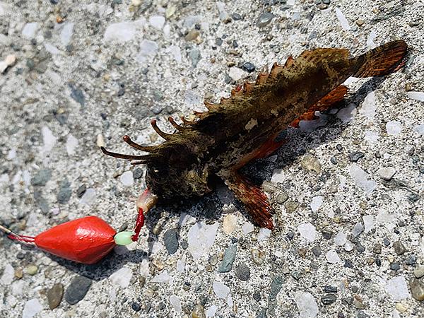 三崎漁港で釣れた小魚
