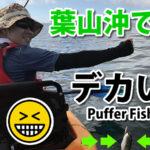 葉山沖カヤックフィッシング、デカい魚が釣れた!?